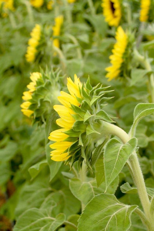 向日葵有绿色叶子视图从后面 免版税图库摄影