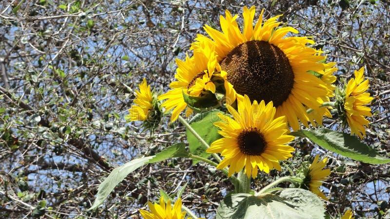 向日葵植物大和小头 库存图片