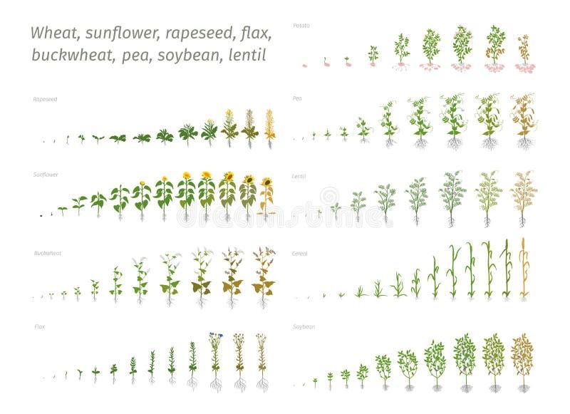 向日葵油菜籽胡麻荞麦豌豆大豆土豆麦子 显示进步生长植物的传染媒介 确定 皇族释放例证