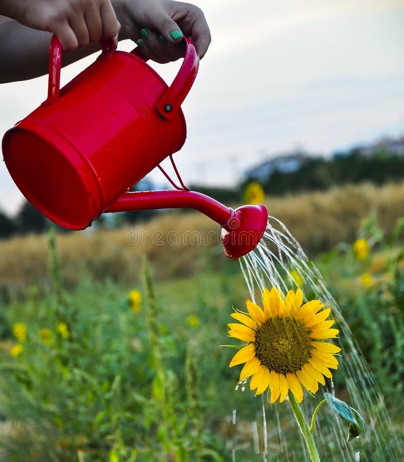 向日葵灌溉 图库摄影