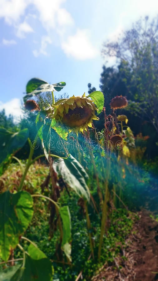 向日葵的生活 免版税库存图片