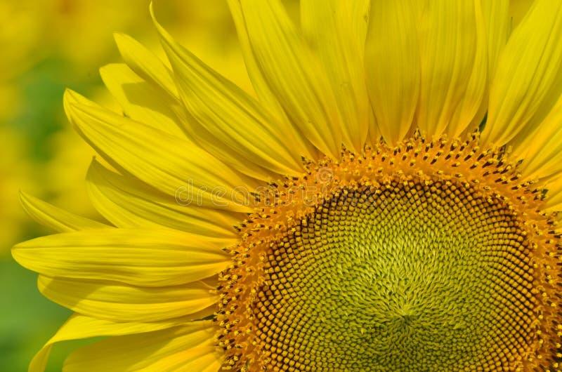 向日葵的美丽的黄色瓣和花粉 免版税库存照片