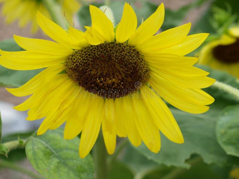 向日葵的自然工程 免版税库存照片