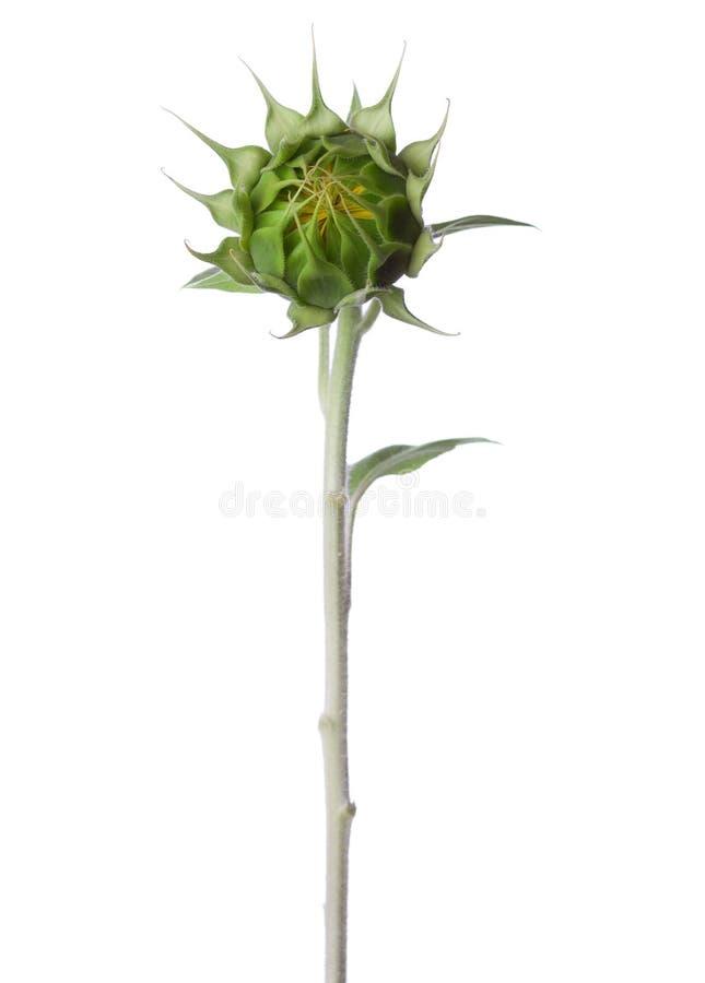 向日葵的芽 免版税库存图片