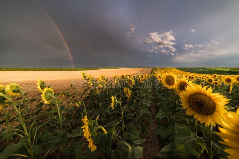 向日葵的领域一条彩虹后边在雨以后在夏日 免版税库存照片