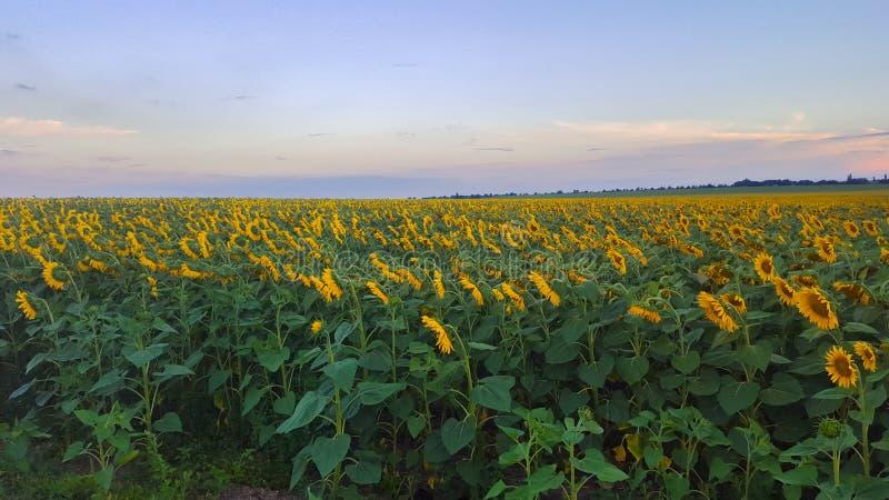 向日葵的领域在晚上 农田浩瀚  图库摄影