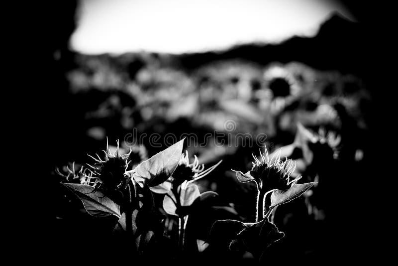 向日葵的领域 免版税图库摄影