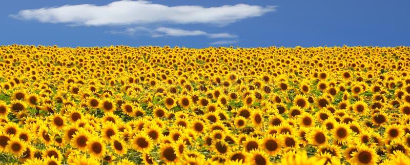 向日葵的领域 库存照片