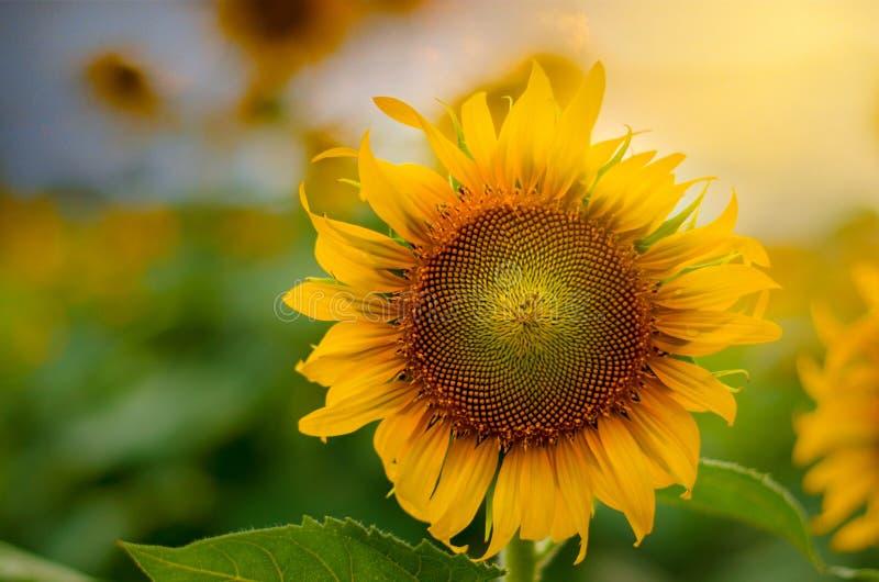 向日葵盛开和光早晨 库存照片