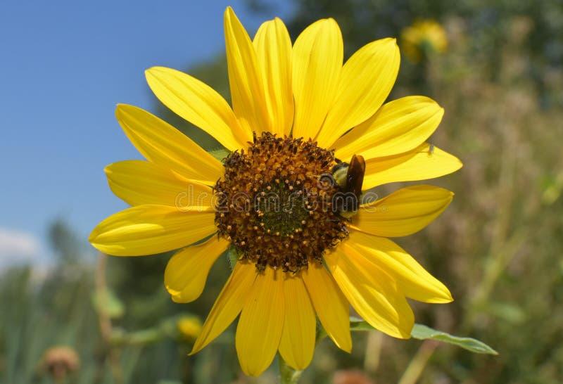 向日葵蜂 库存图片