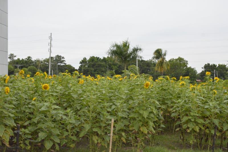 向日葵被种植在南达沃省大剧场的前提,马蒂, Digos市,南达沃省,菲律宾 免版税图库摄影