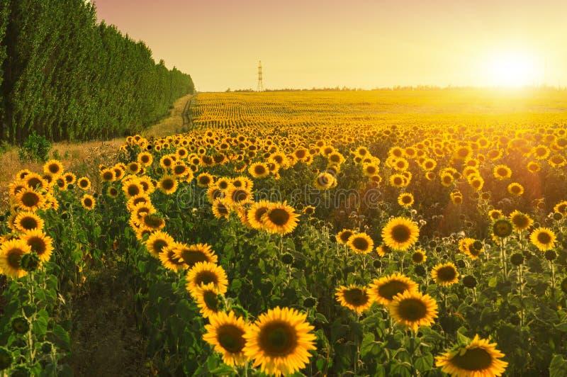 向日葵调遣 夏天日落户外风景 库存图片