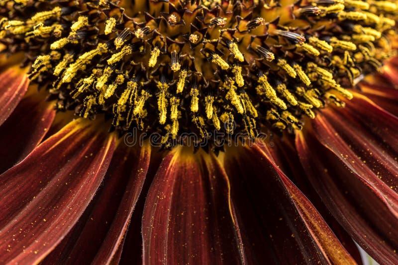 向日葵雌蕊 库存照片