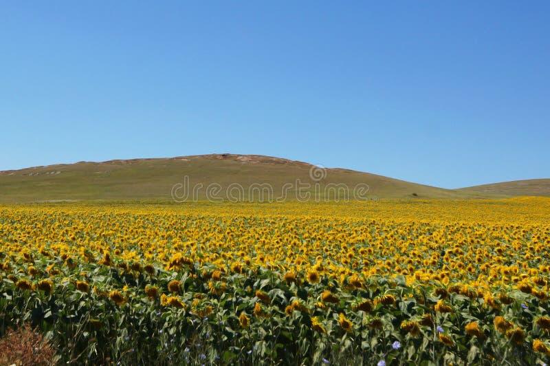 向日葵领域在南欧 库存照片