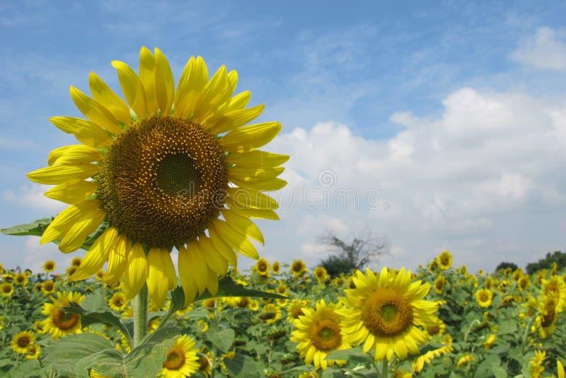向日葵领域在晴天 图库摄影