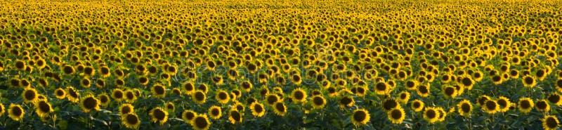 向日葵领域的全景与开花的花的 免版税库存照片