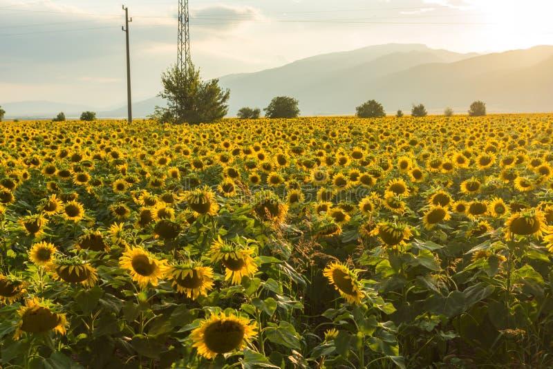 向日葵领域,旧扎戈拉地区,保加利亚日落风景在卡赞勒克谷的 免版税库存图片