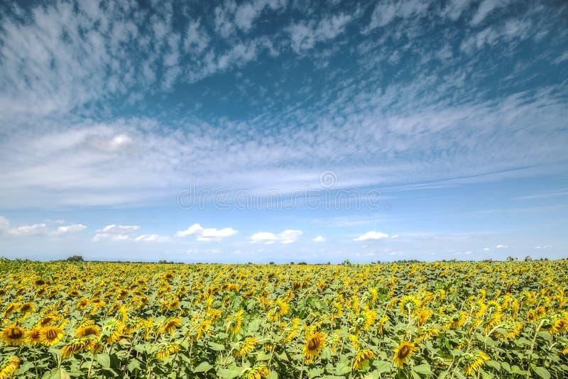 向日葵黄色花在蓝天背景的 库存照片