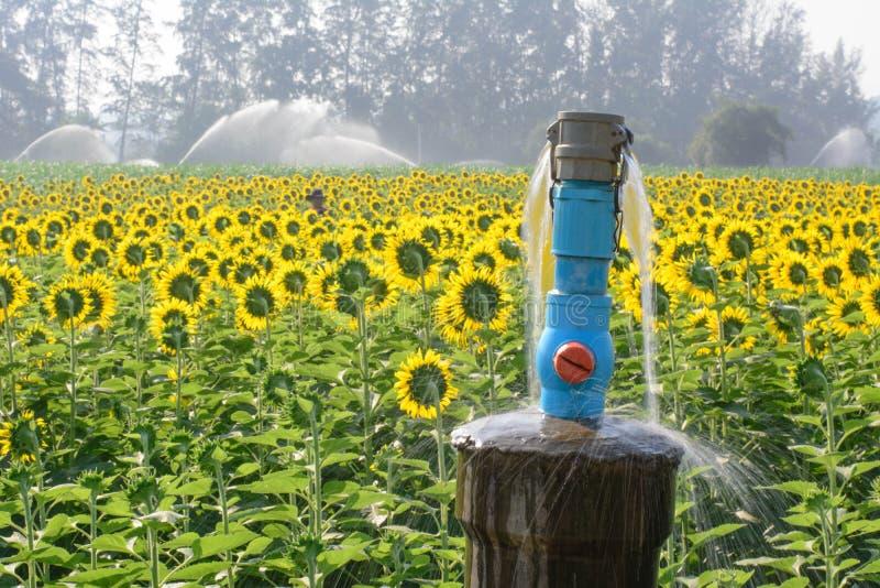 向日葵,向日葵庭院在冬天 免版税库存照片