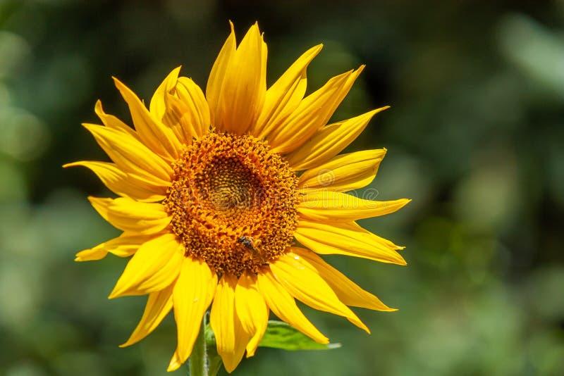 向日葵,黄色 库存照片