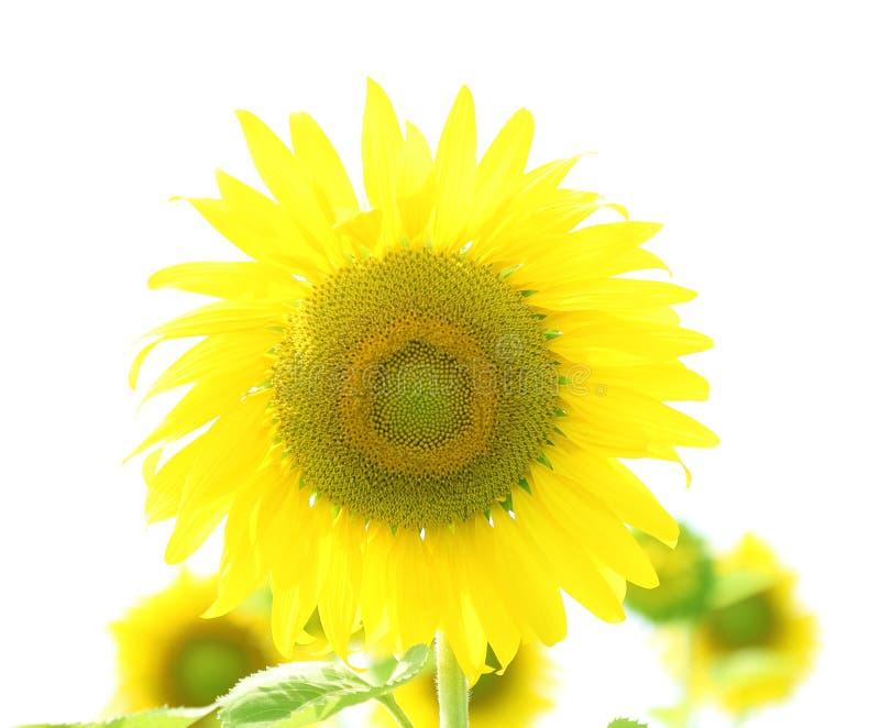 向日葵,黄色向日葵的领域 库存照片