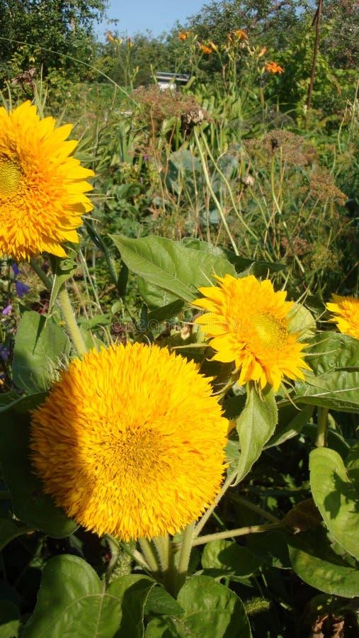 向日葵 与明亮的黄色花的迷人的双重花 免版税图库摄影