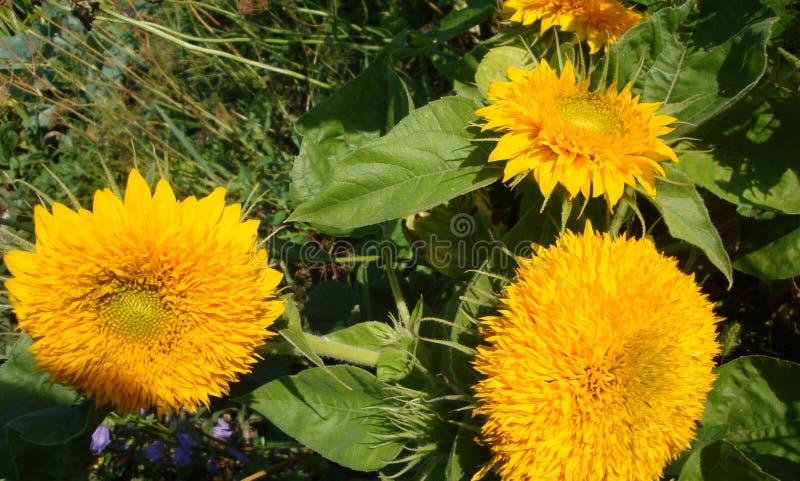 向日葵 与明亮的黄色花的迷人的双重花 库存图片