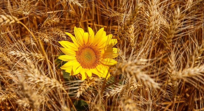 向日葵&五谷,与地球的丰厚 免版税图库摄影