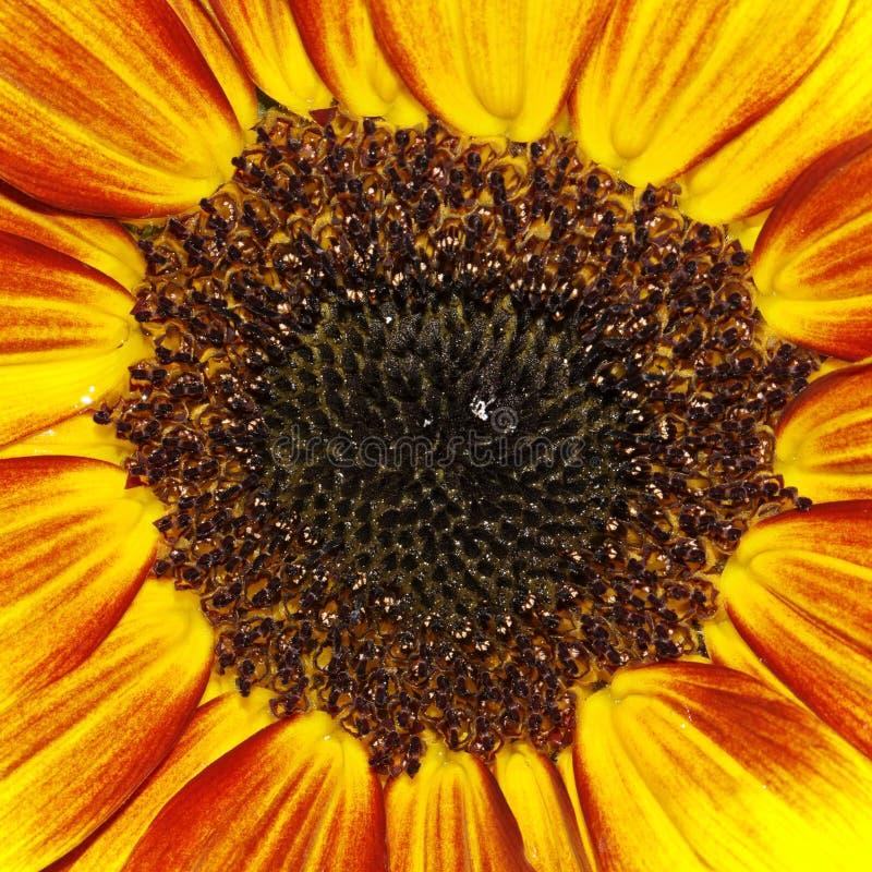 向日葵(向日葵)装饰夏天气喘 库存图片