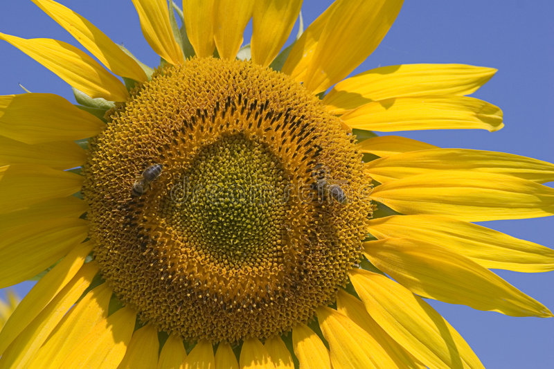 Download 向日葵 库存图片. 图片 包括有 有刺的动物, 庭院, 的根底, 纹理, 充满活力, 特写镜头, 偏振镜, 昆虫 - 176683