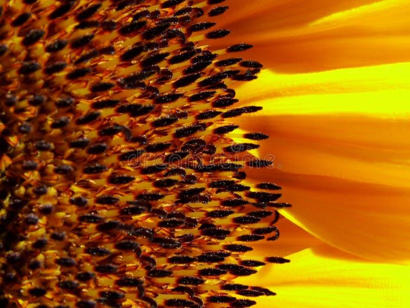 Download 向日葵 库存图片. 图片 包括有 种子, 照亮, 亮光, 向日葵, 晒裂, 愉快, 增长, 黄色, 夏天, 庭院 - 177211