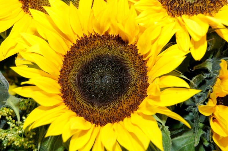 Download 向日葵 库存照片. 图片 包括有 关闭, 黄色, 花粉, 叶子, 向日葵, 绽放 - 185676