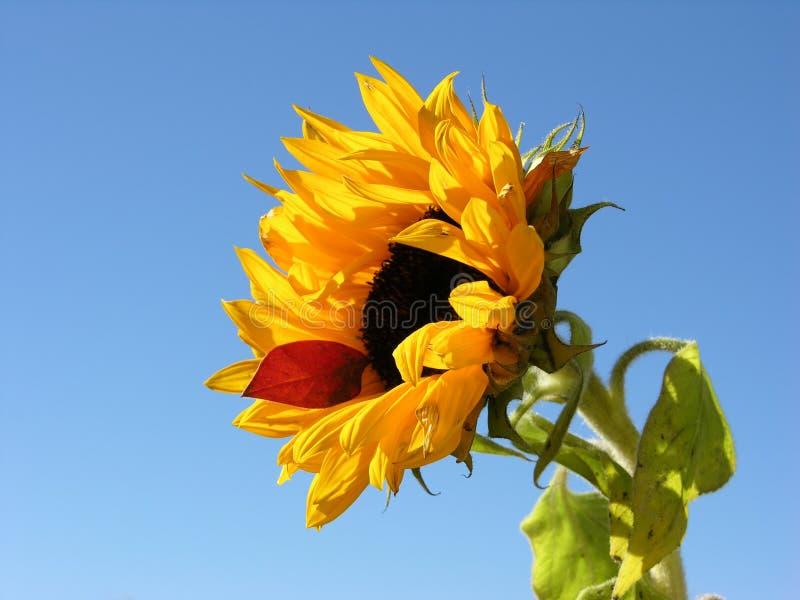 Download 向日葵 库存照片. 图片 包括有 植物群, 本质, 向日葵, 查出, 黄色, 红色, 蓝色, 背包, 部分, 上面 - 56882