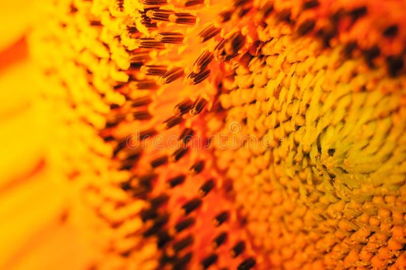 Download 向日葵 库存图片. 图片 包括有 光晕, 幼稚园, beauvoir, 开花, 室外, 乐观, 愉快, 教育 - 59105117