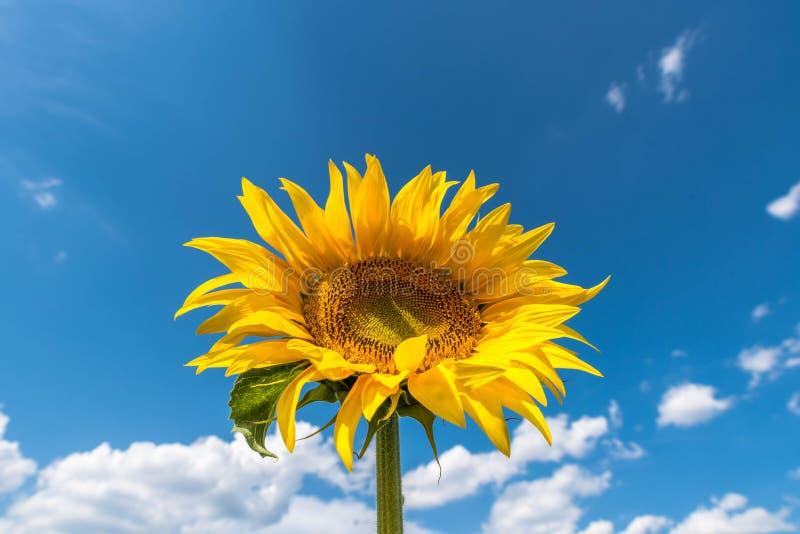 Download 向日葵 库存图片. 图片 包括有 蓝色, 庭院, 题头, 问题的, 云彩, 快乐, 有机, 新鲜, beauvoir - 96639987