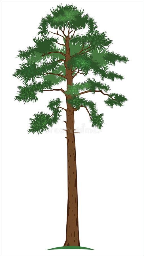 向量杉木结构树 皇族释放例证