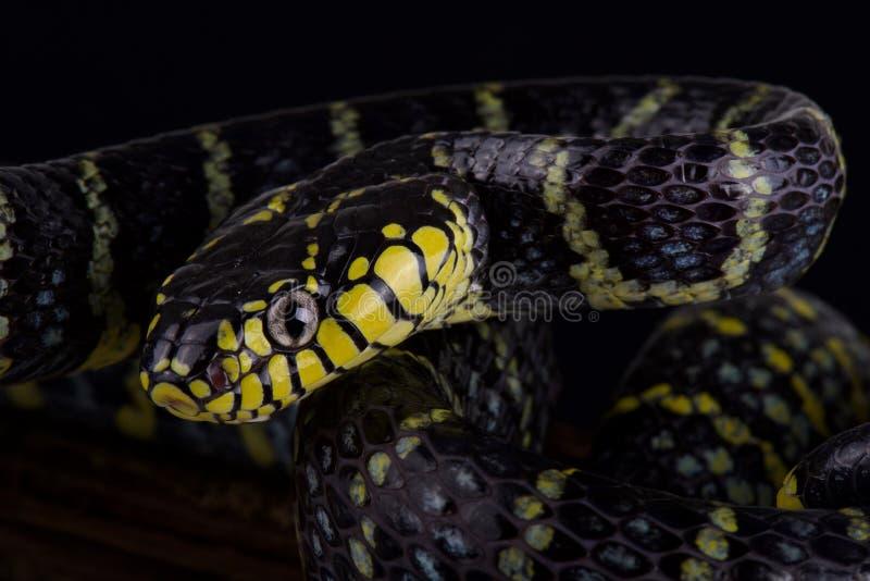 吕宋美洲红树蛇Boiga dendrophila divergens 免版税图库摄影