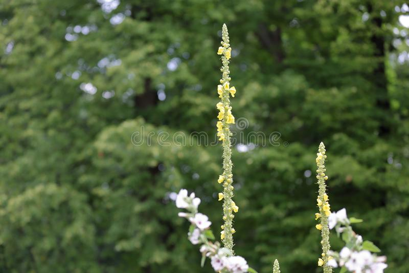 君权mullein的明亮的花美丽如画的绽放  库存图片