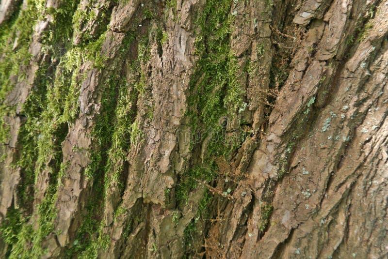 吠声与地衣的树干表面上 免版税库存图片