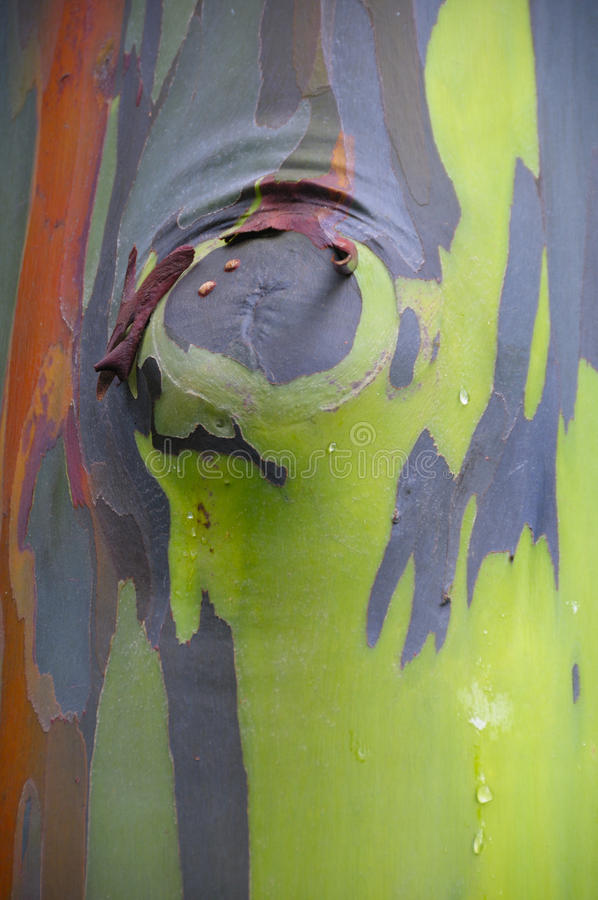 吠声五颜六色的玉树彩虹结构树 免版税图库摄影