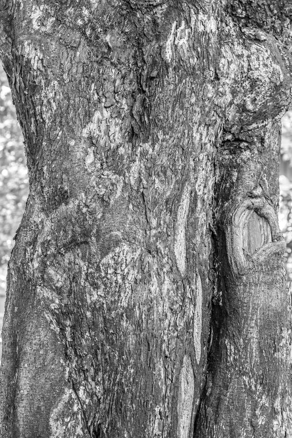 吠声树黑白图片纹理背景的 免版税库存图片