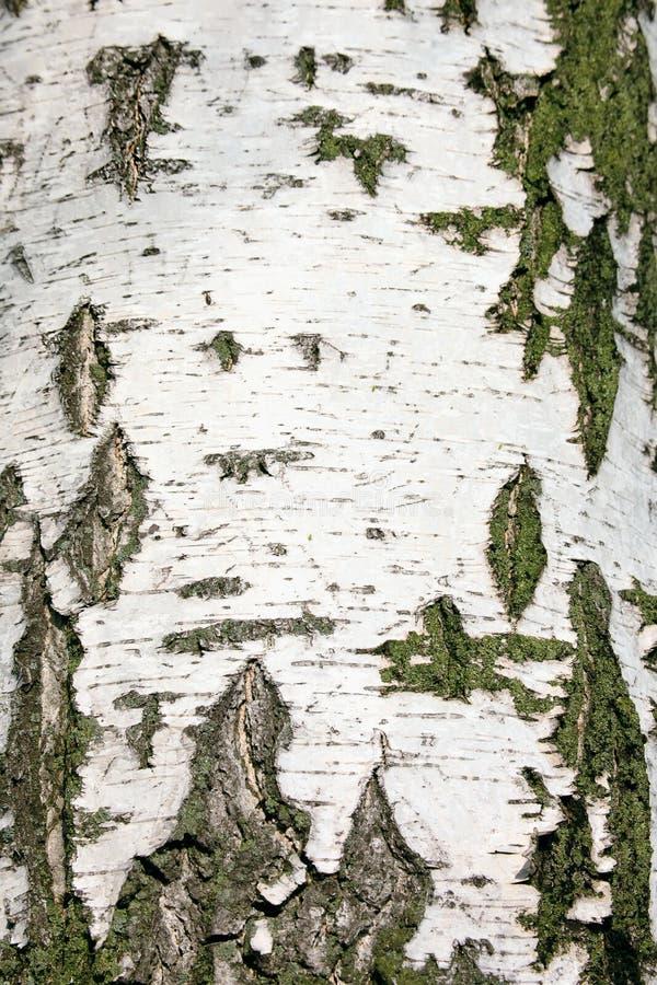 吠声桦树关闭纹理视图 免版税库存图片