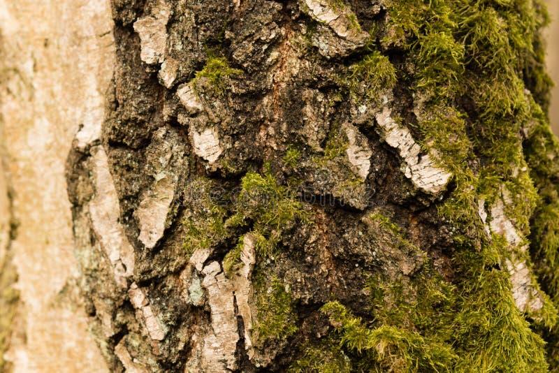 吠声桦树查出的白色 免版税图库摄影
