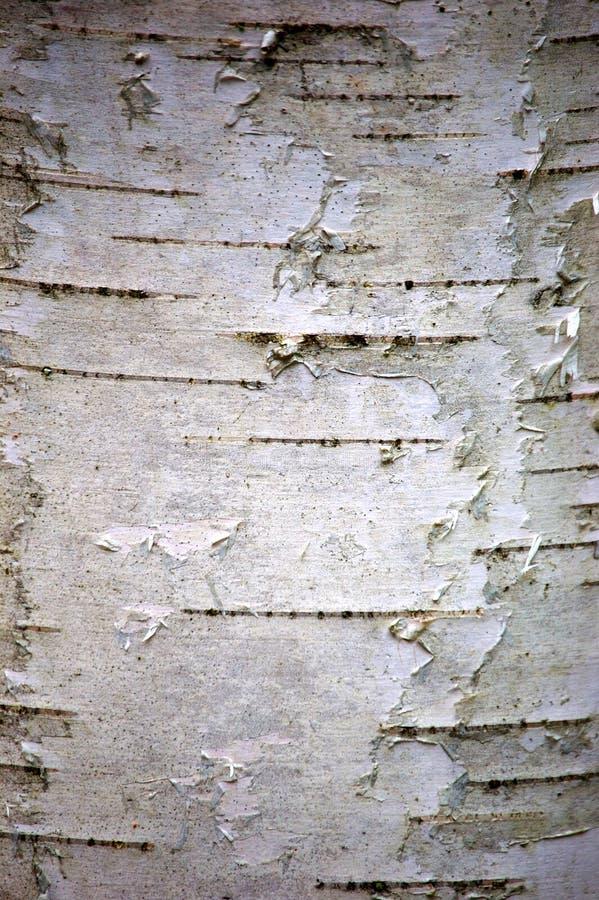 吠声桦树 图库摄影