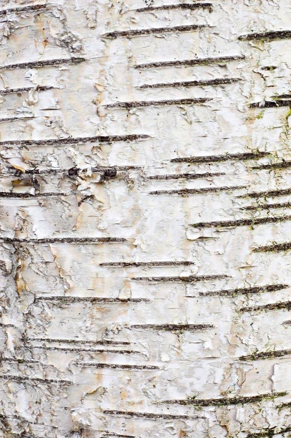 吠声桦树 库存照片