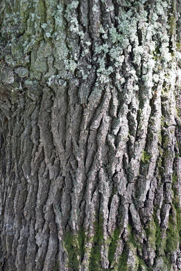 吠声纹理橡木 生长在普里皮亚季河的洪泛区的一棵老树 免版税图库摄影