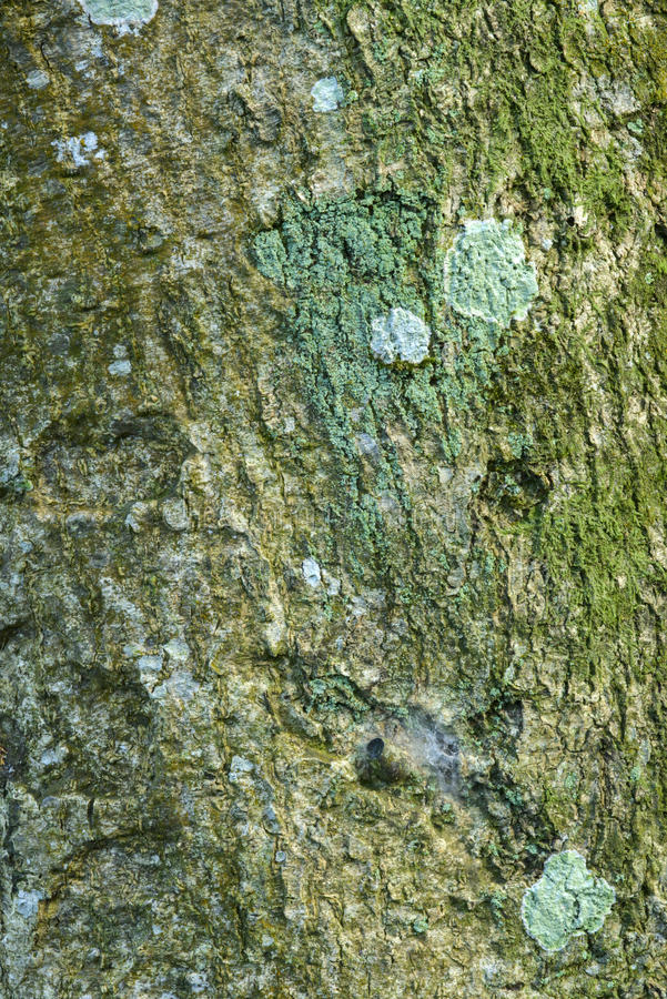 吠声老白杨树纹理结构树 库存图片