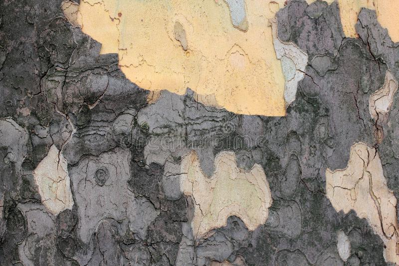 吠声近景结构树 木纹理,美国梧桐树 形成与拷贝空间的美国梧桐木五谷抽象背景 卡其色 库存照片