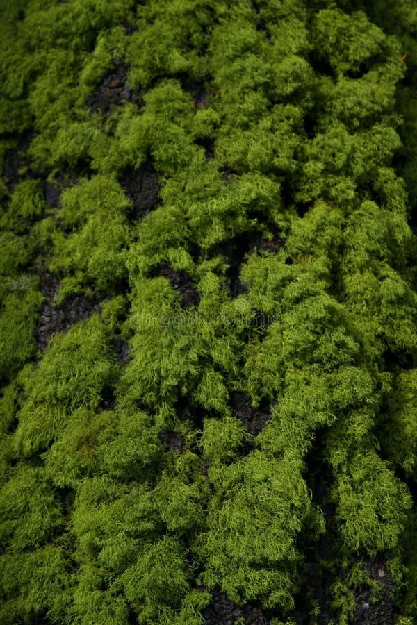 吠声青苔结构树 免版税库存图片