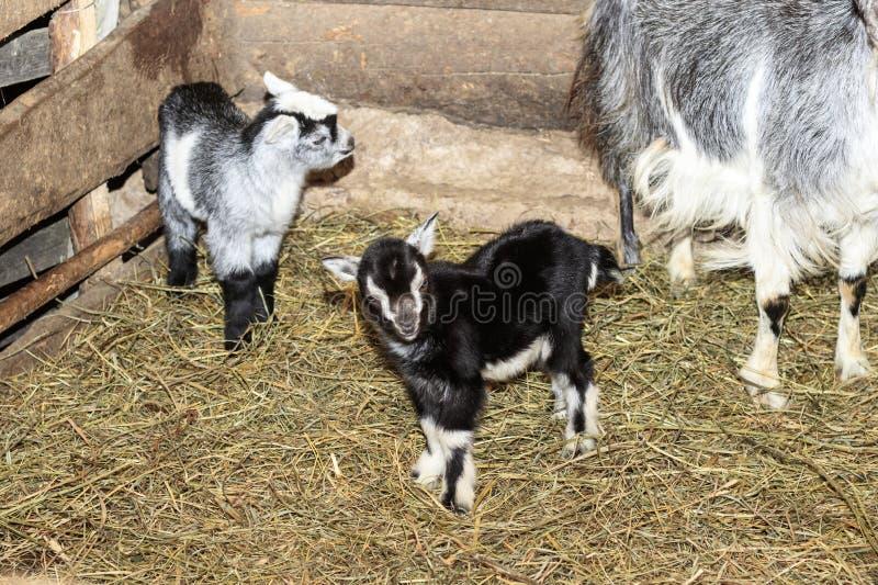 吠声 有一只山羊和三只小的山羊在它 在地板上的秸杆 木头墙壁  那里定调子 库存图片